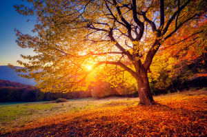 Majestic alone beech tree on a hill slope with sunny beams at mo